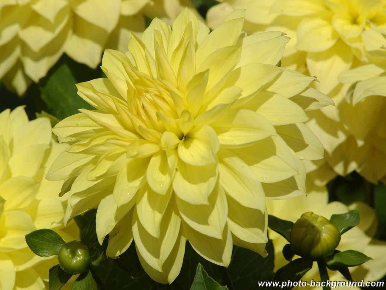 Dahlias Yellow Flowers 5 Pinterest Dahlia Flowers And Gardens