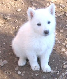 White German Shepherd Puppies With Blue Eyes Google Search