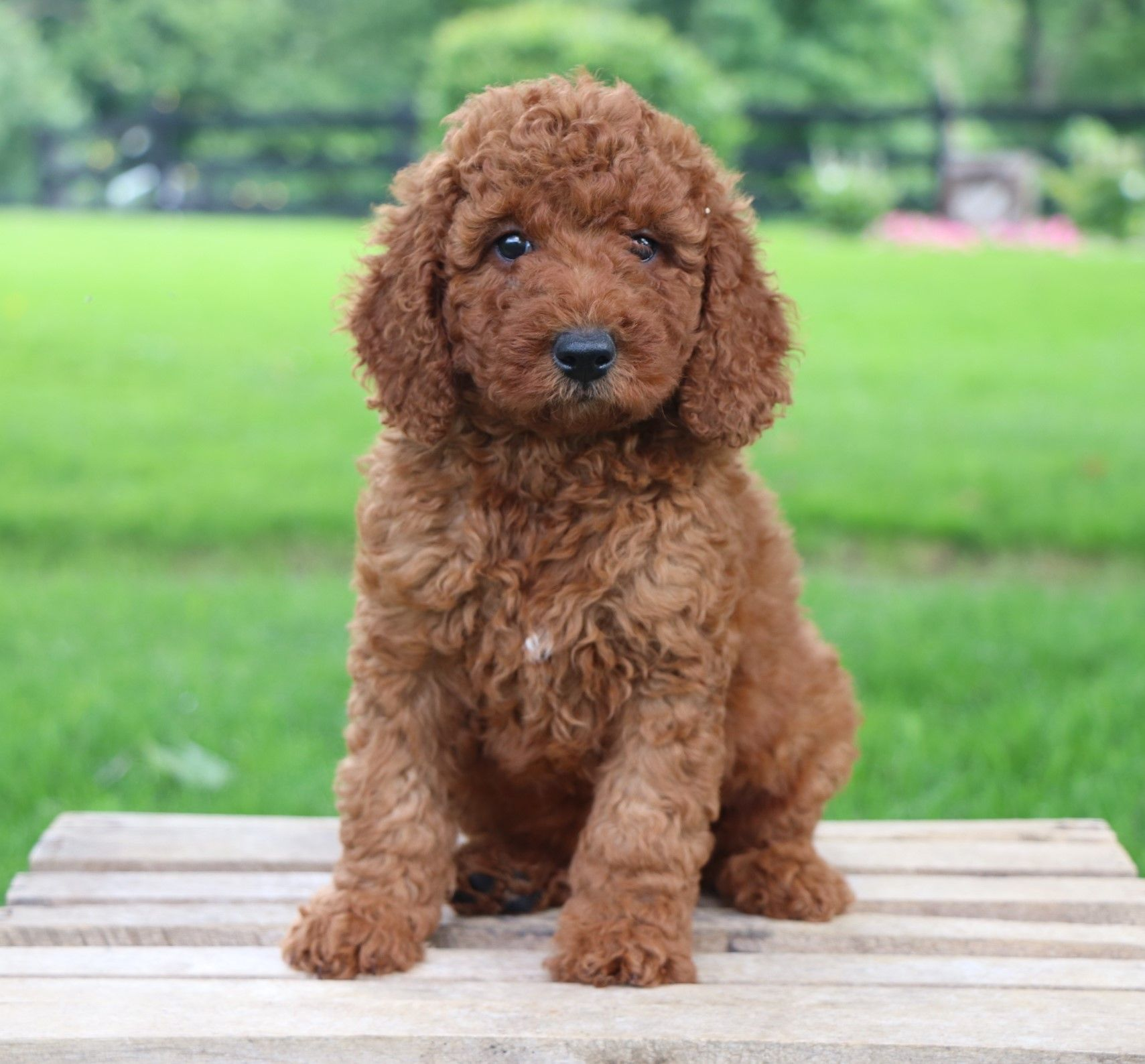 Red Poodle Puppies For Sale Uk 2021
