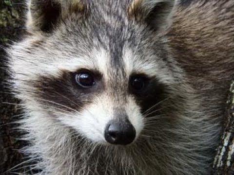 Raccoon on my back patio | Tutoring jobs, Home jobs ...