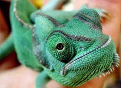 Camaleones exoticos | Lagartos, Fotografía animal y Animales exóticos