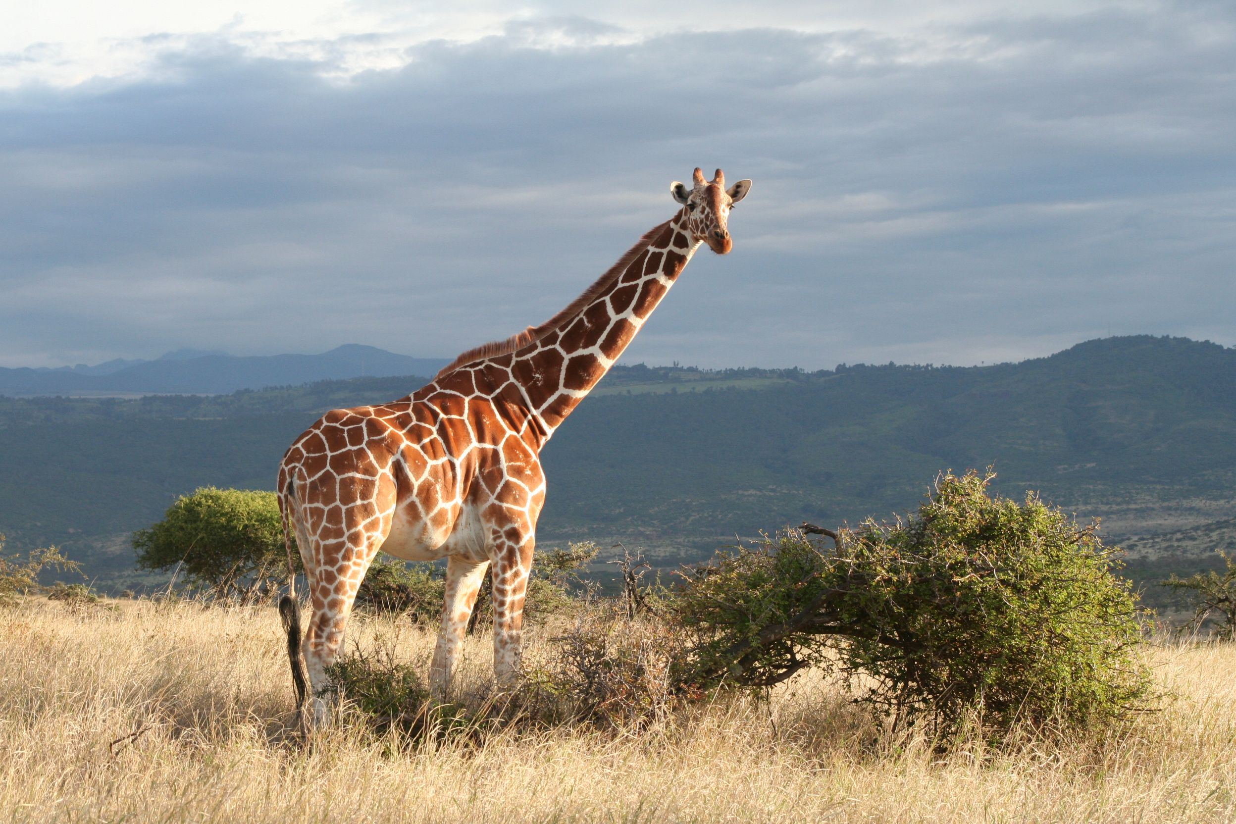 Giraffe grazing at Lewa Wilderness Conservancy in Kenya. The conservancy was set up due to poaching and since the number of wildlife has grown enormously