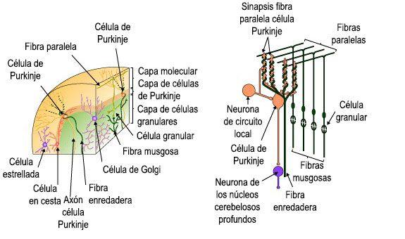 El cerebelo: organización y función | Infografías Psicología ...