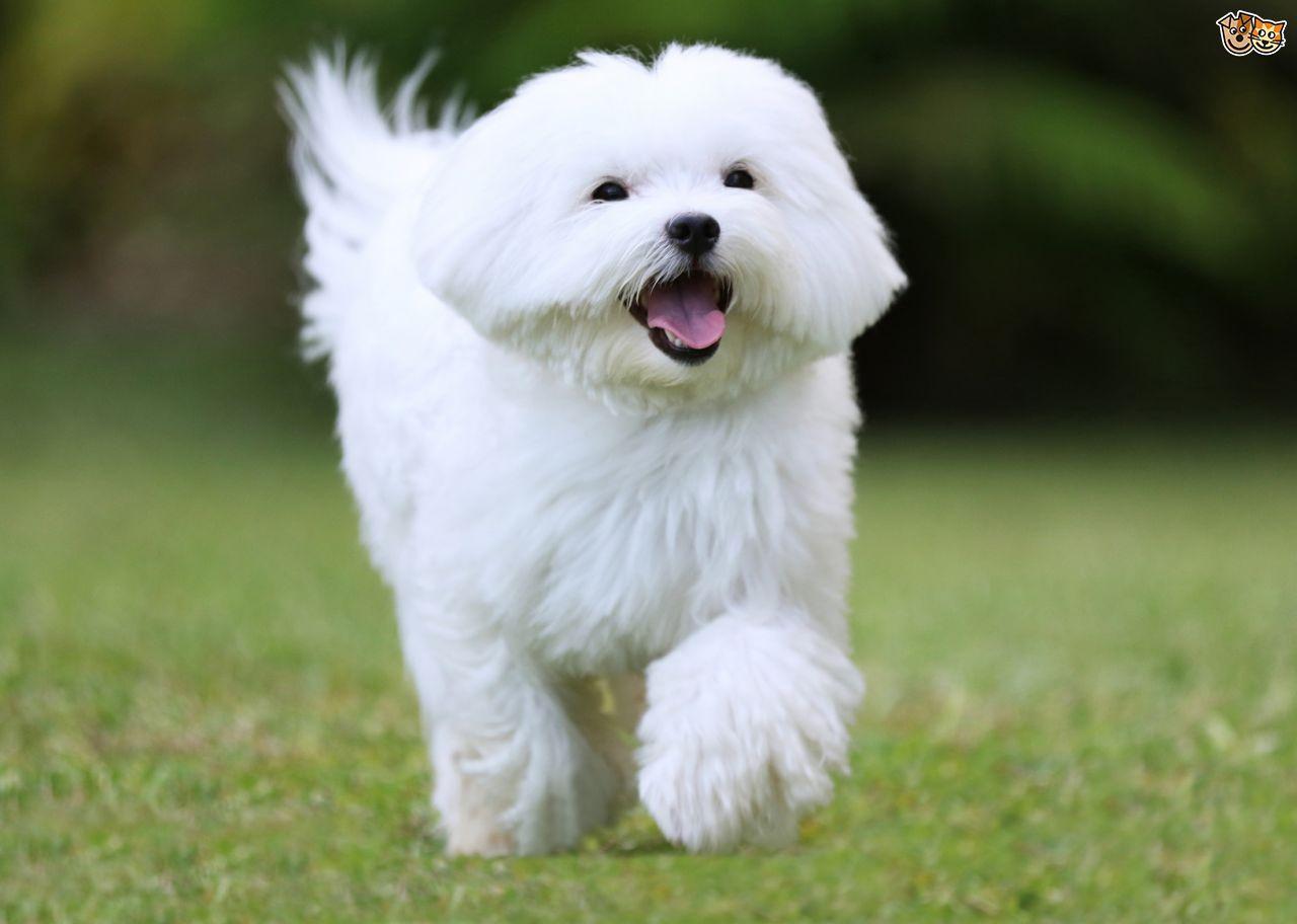 Maltese Dog Breeds Small Dog Breeds Maltese Dog Breed