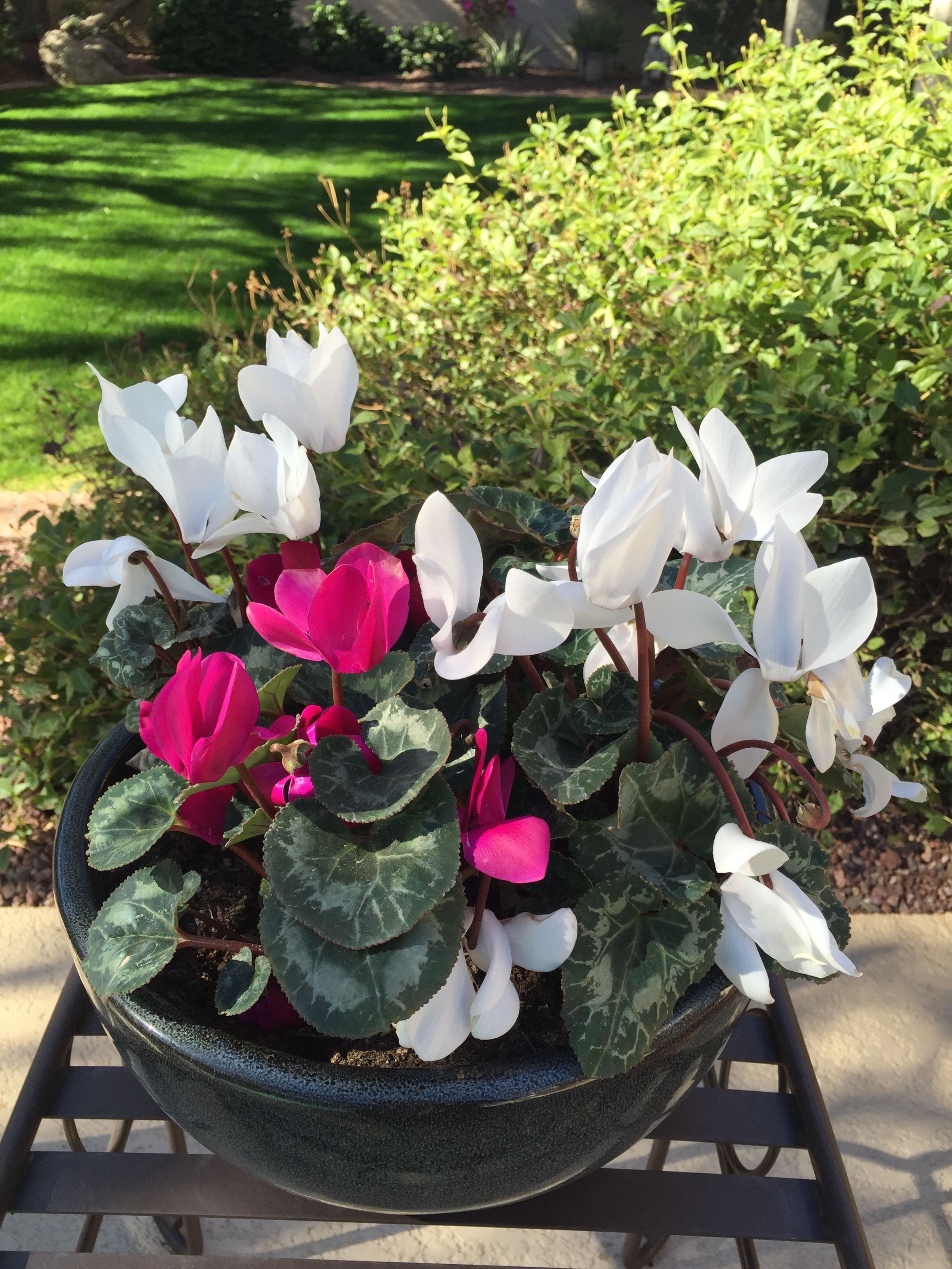 Cyclamen Plant Care Growing Tips Cutting Planting: Pin By Houseplant 411 On Plant Care Questions