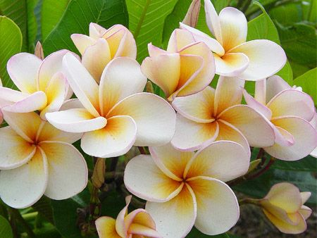 White,Yellow Hawaiian Plumeria Flowers. When I was young