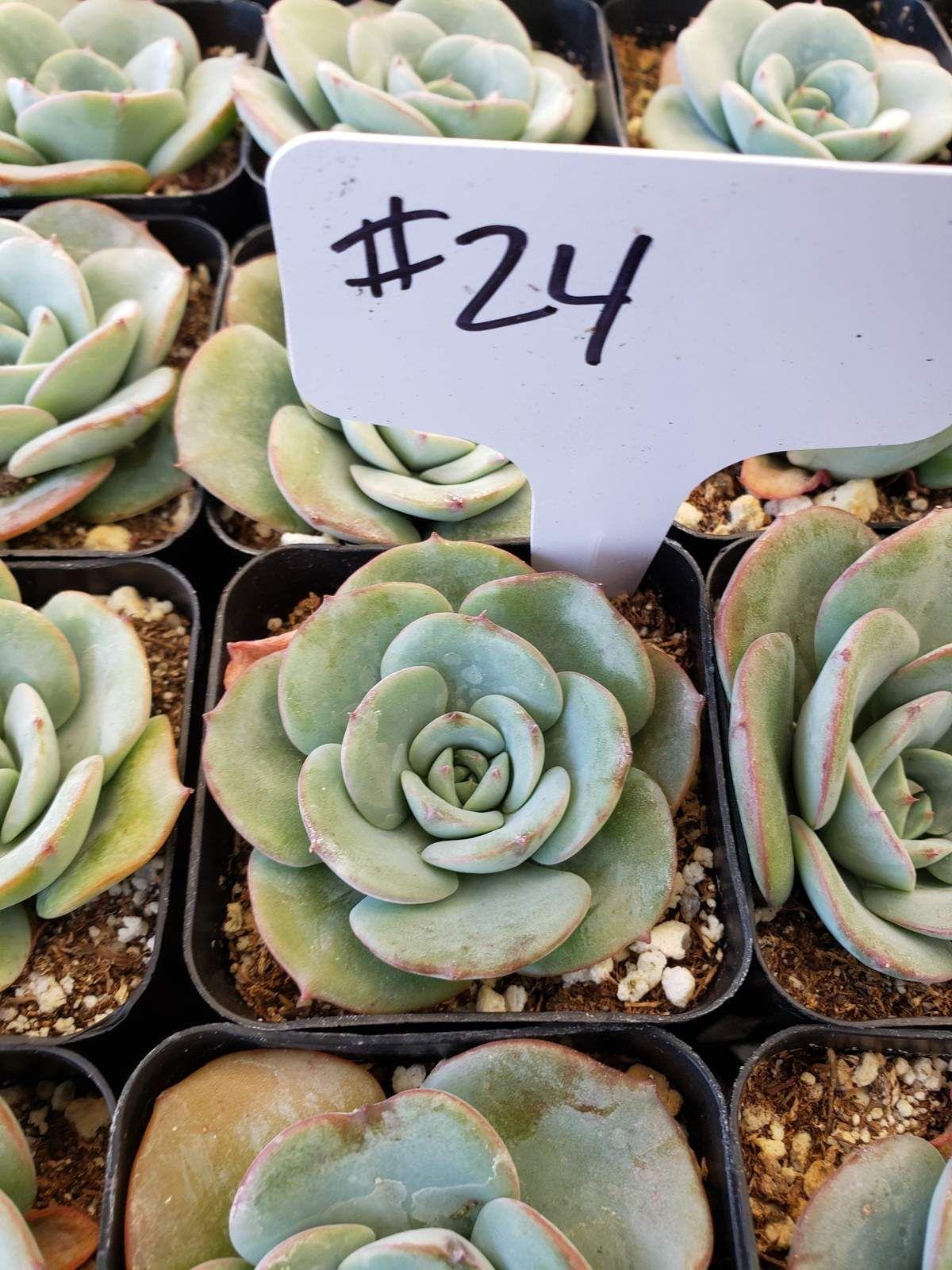 "2"" Exact Type Succulents Wedding Succulent Favors for"
