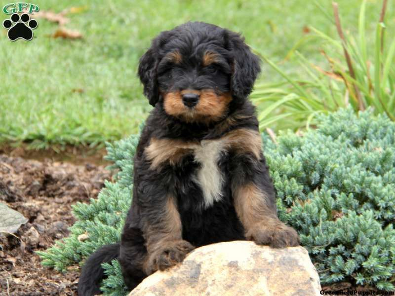 Cooper Mini Bernedoodle Puppy For Sale In Honey Brook Pa Bernedoodle Puppy Puppies Cute Dogs