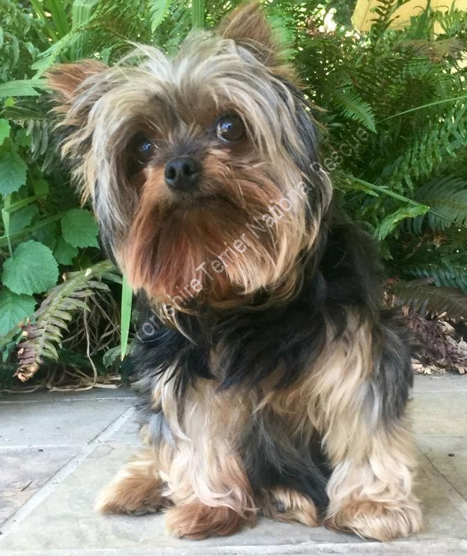 Tuffy In Oregon Is An Adoptable Yorkshire Terrier Yorkie Searching