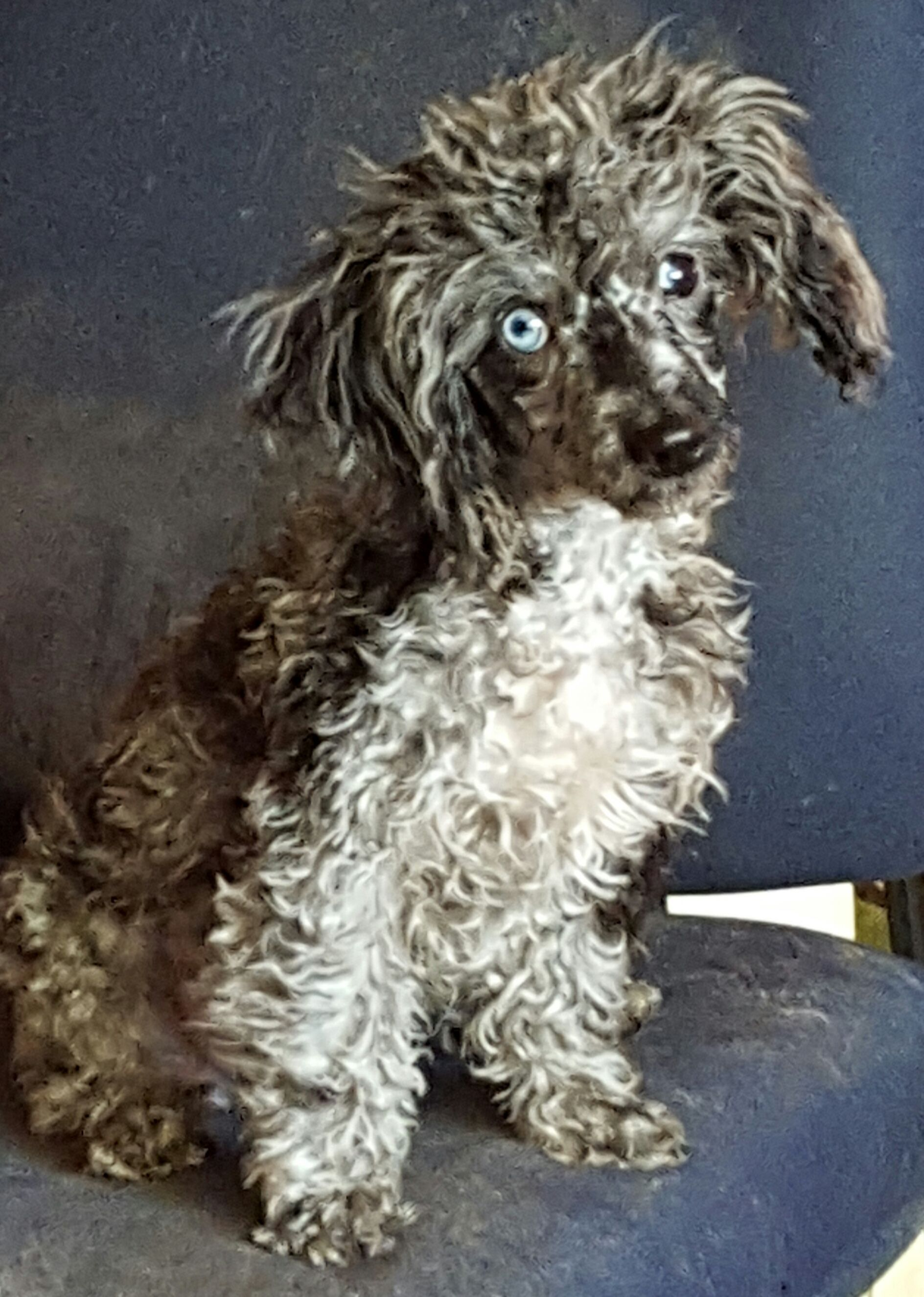 Makayla, miniature poodle my bundle of freeky luv. best personality in a dog, that i have ever met.  so smart