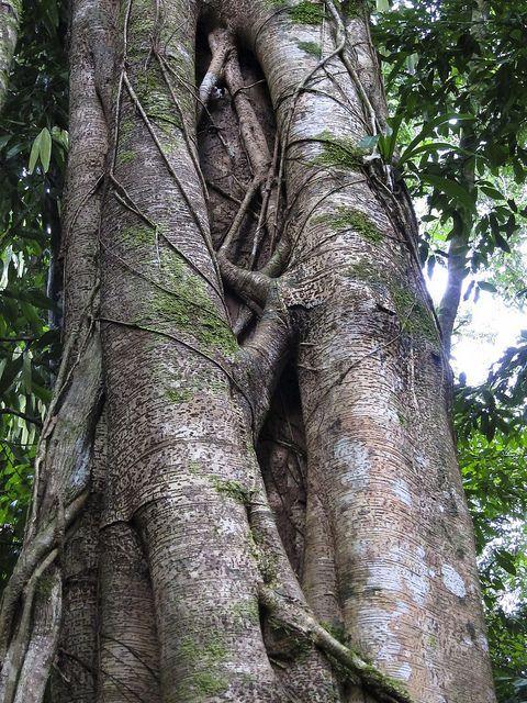 Strangler fig / Würgefeige (Gattung Ficus) - Tabin Wildlife Reserve, Sabah, Malaysian Borneo