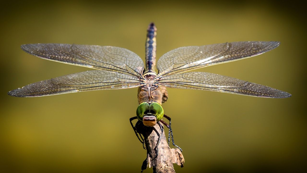 Dragonflies Eat Mosquitoes Here Are 10 Plants To Attract Dragonflies To Your Home Insects Dragonfly Aquatic Insects