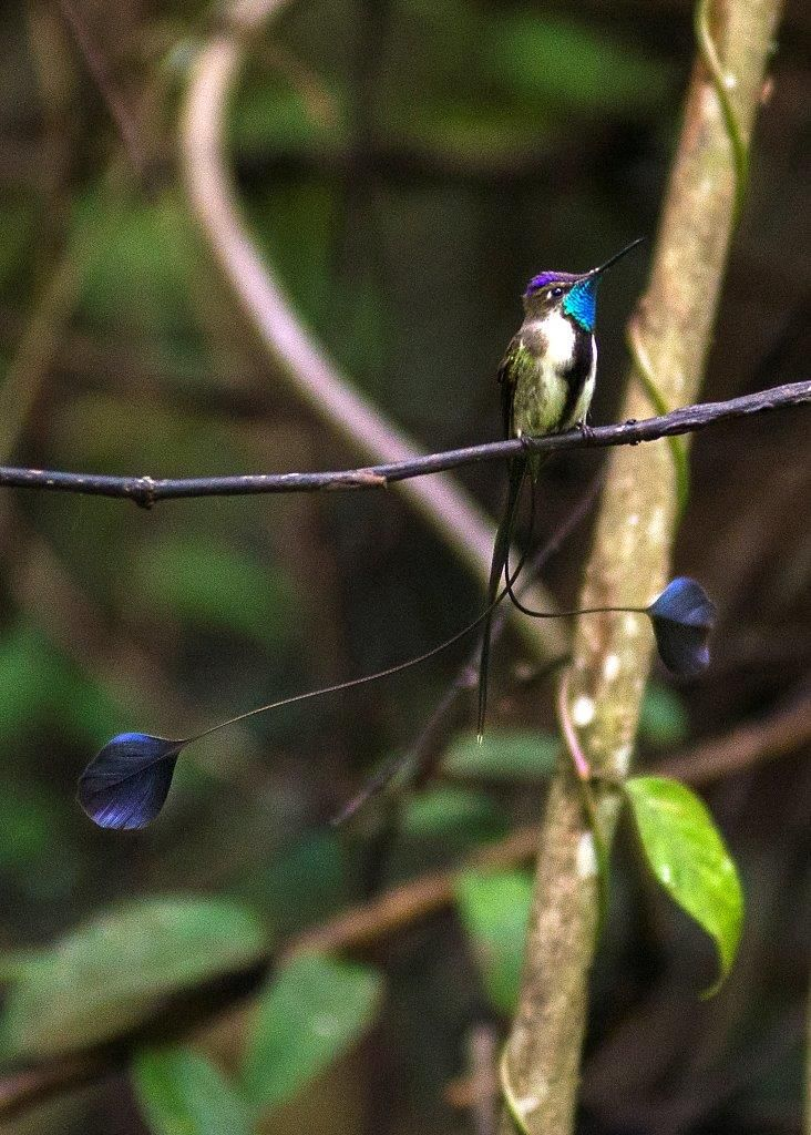 DAY 6 GOCTA - POMACOCHAS – TARAPOTO (B,L) The Marvelous Spatuletail is an endemic bird to Peru. One of the most spectacular things to witness in the birding world is the display of the males spatuletails. And with some luck you will spot some at ECOAN's visitor center on your way back to #Tarapoto. To get to #Moyobamba you pass by the beautiful #PomacochasLagoon. After a lunch break in Moyobamba you continue your drive to Tarapoto (approx. at 15:00 hrs) to be transferred to the airport.