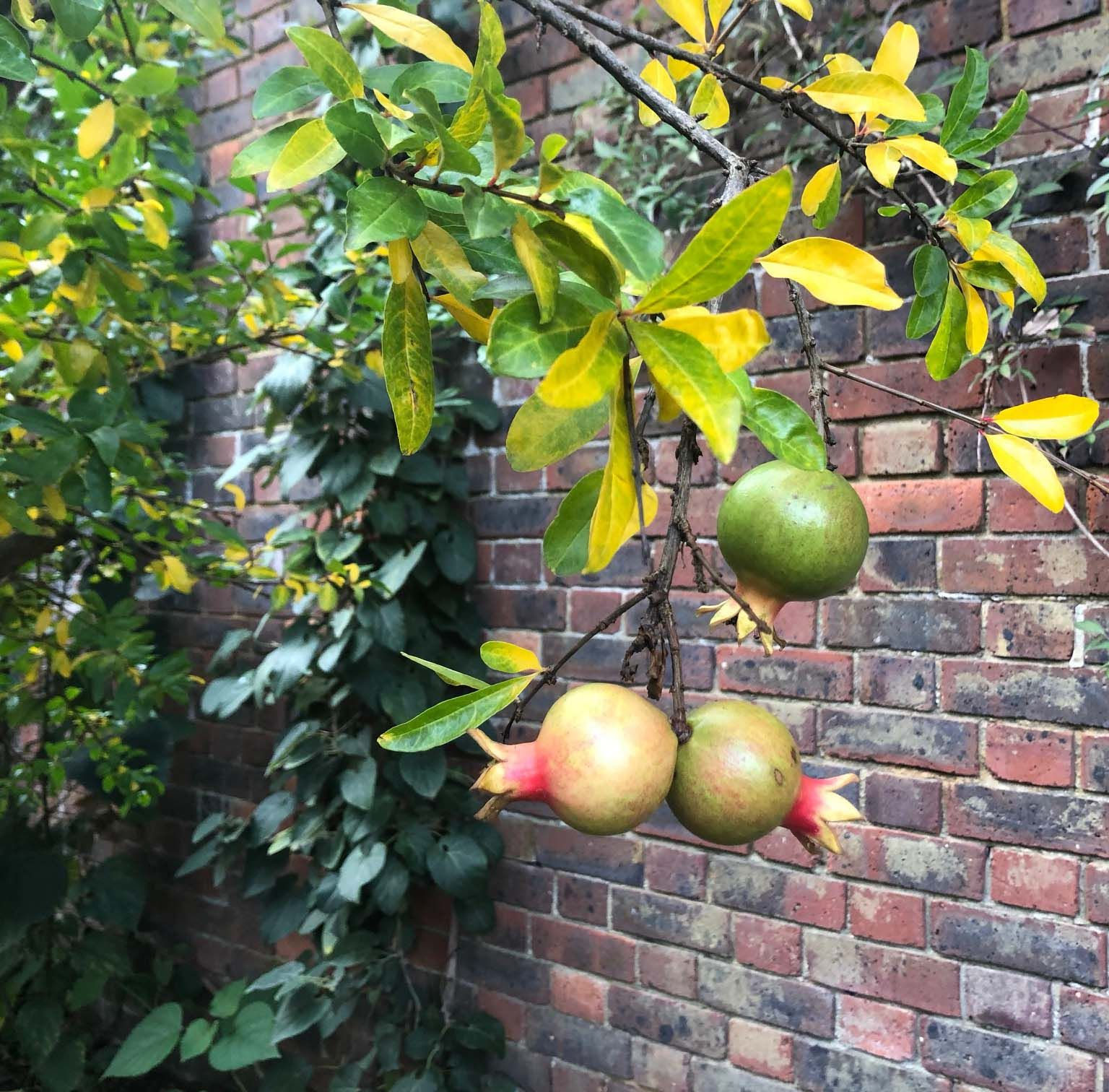 Punica Granatum Pomegranate Trees For Sale Uk Buy Online Growing Fruit Trees Fruit Trees Growing Fruit