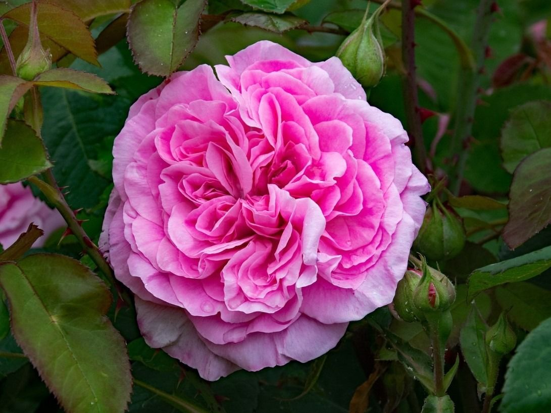 The Sweet Scent of Roses - CountryLife Blog