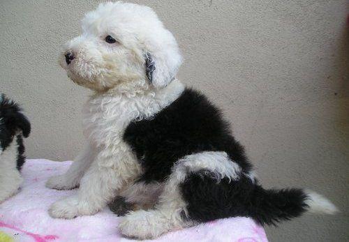 Old English Sheepdog Puppies Classifieds Image Of Old English Sheepdog Puppiesnow Available For Sale Pets For Sale Old English Sheepdog English Sheepdog