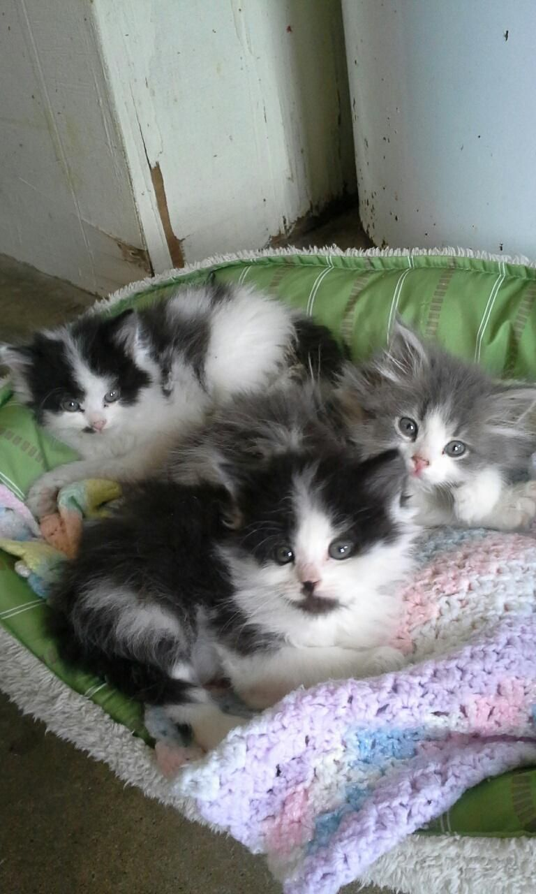 Hello These Are 3 Male Longhair Kittens They Are All Very