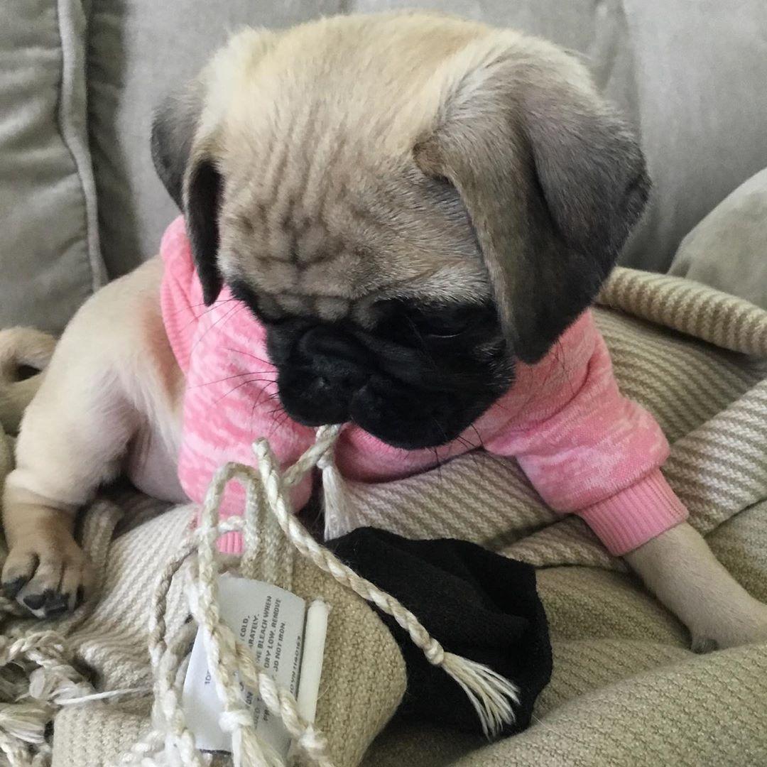Tbt Me In My Pink Sweater Pug Puglove Utah Pugtoday Dailypug