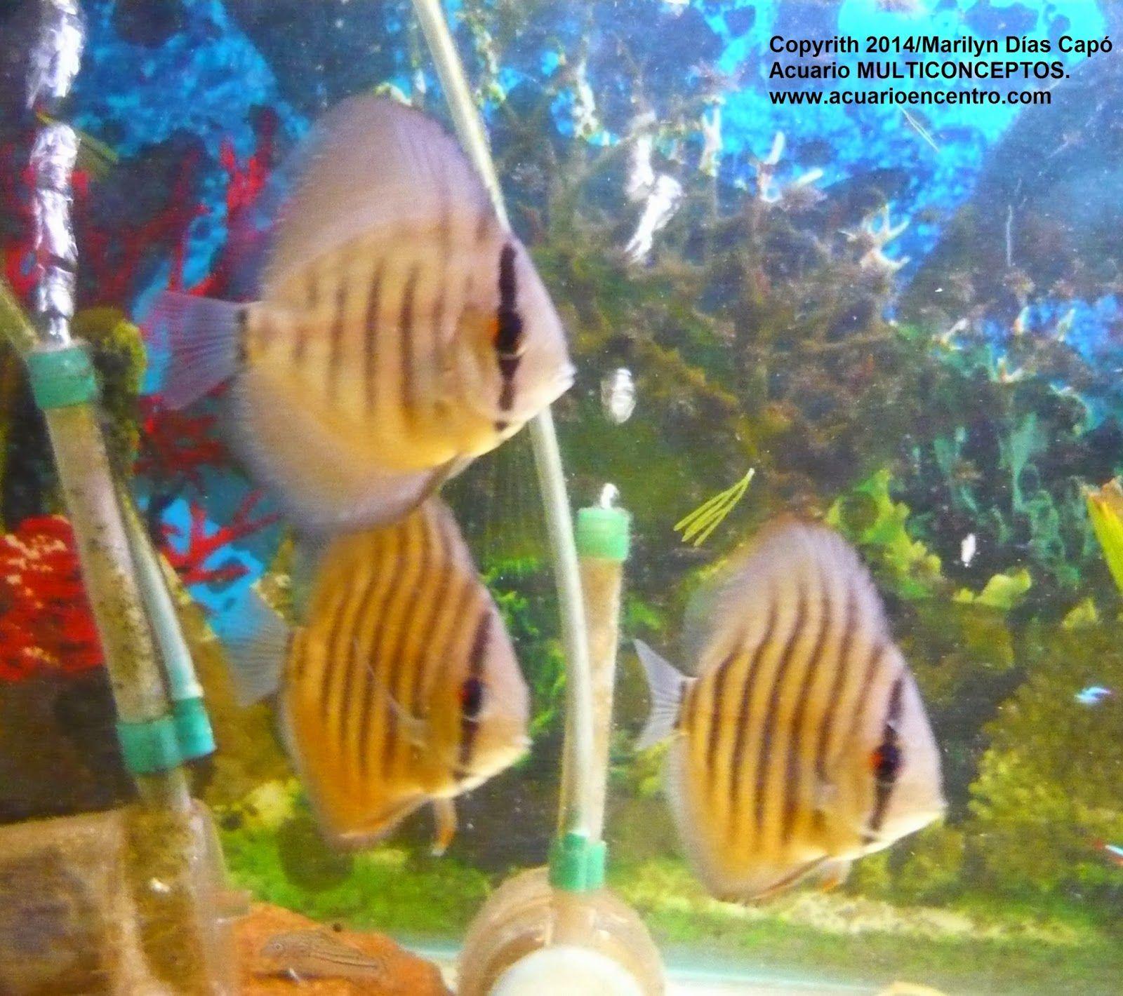 especies de peces tropicales peces tropicales de agua dulce mis peces en