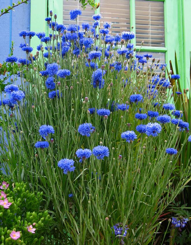 Centaurea Cyanus Blue Diadem Bachelor S Buttons Buy Online At Annie S Annuals Bachelor Button Flowers Bachelor Buttons Perennial Garden