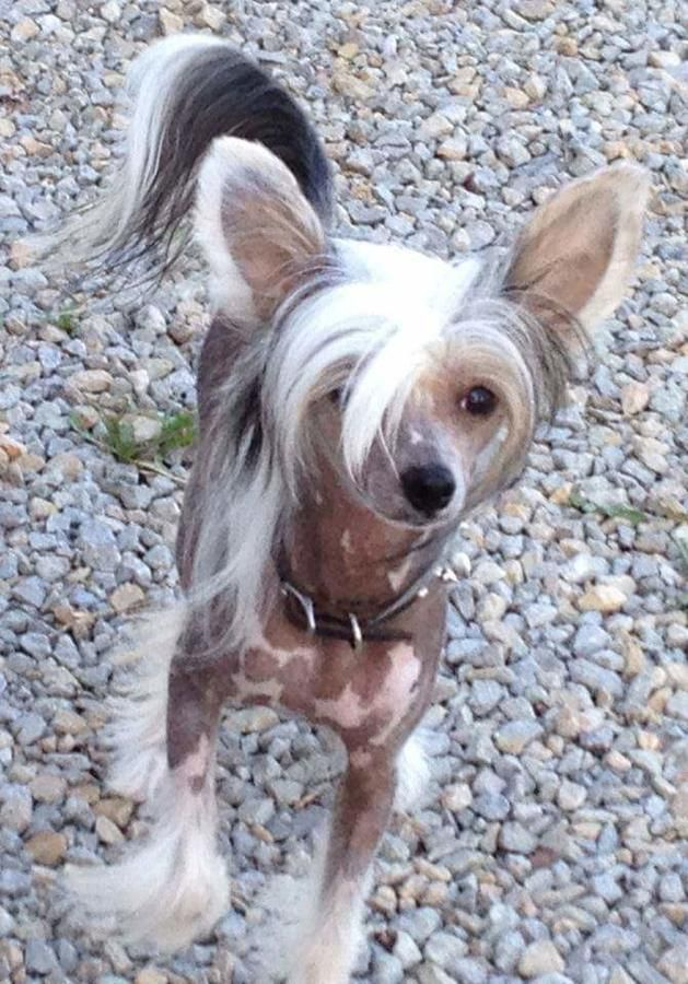 Gorgeous Akc Chinese Crested Show Puppy Male Very Hairy Hairless