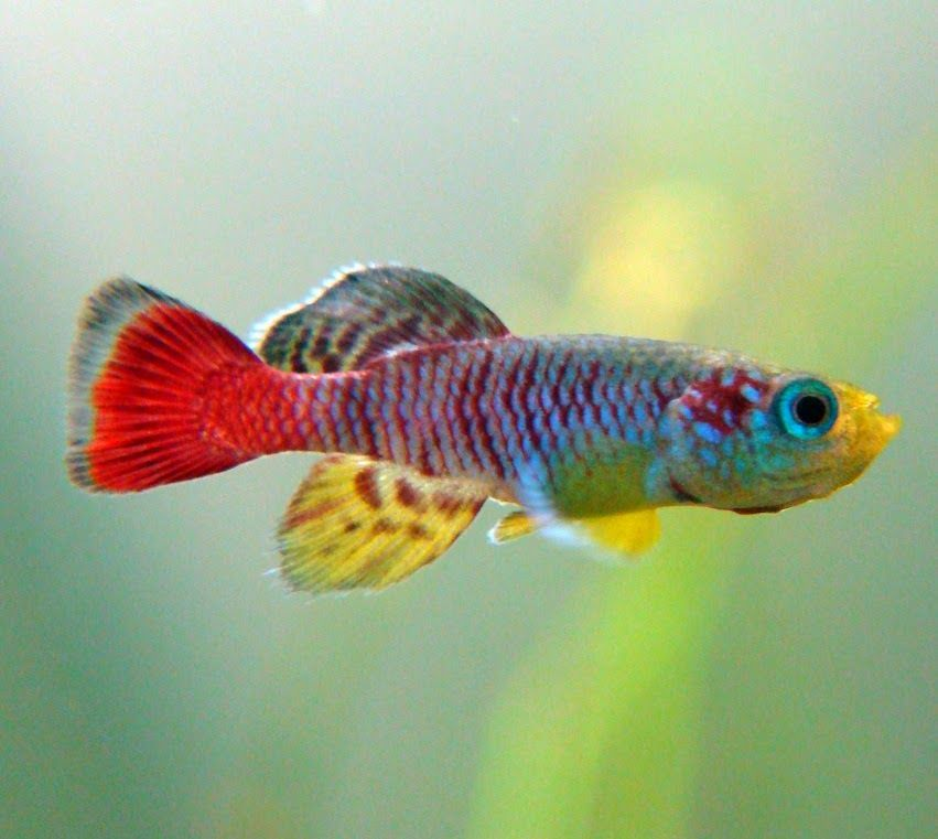 Top 10 Most Beautiful Freshwater Fish In The World 2 Tropical Fish Freshwater Fish Cool Fish