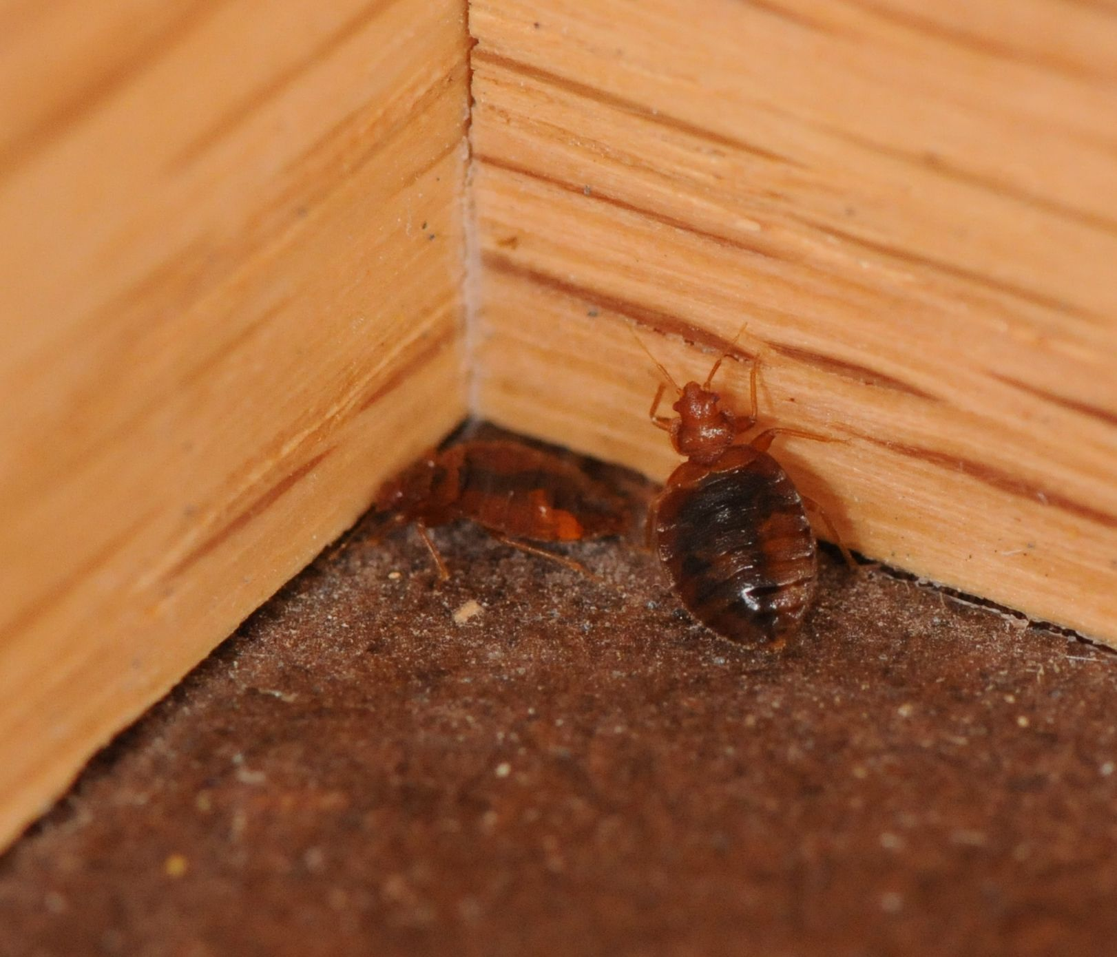 Bed bugs in corner of room. Bed bugs, Bed bugs pictures