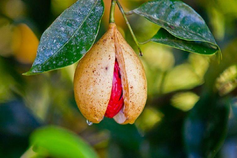 nutmeg tree க்கான பட முடிவு