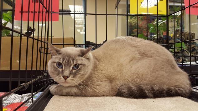 Adopt Ziam On Cats Siamese Cats Adoption