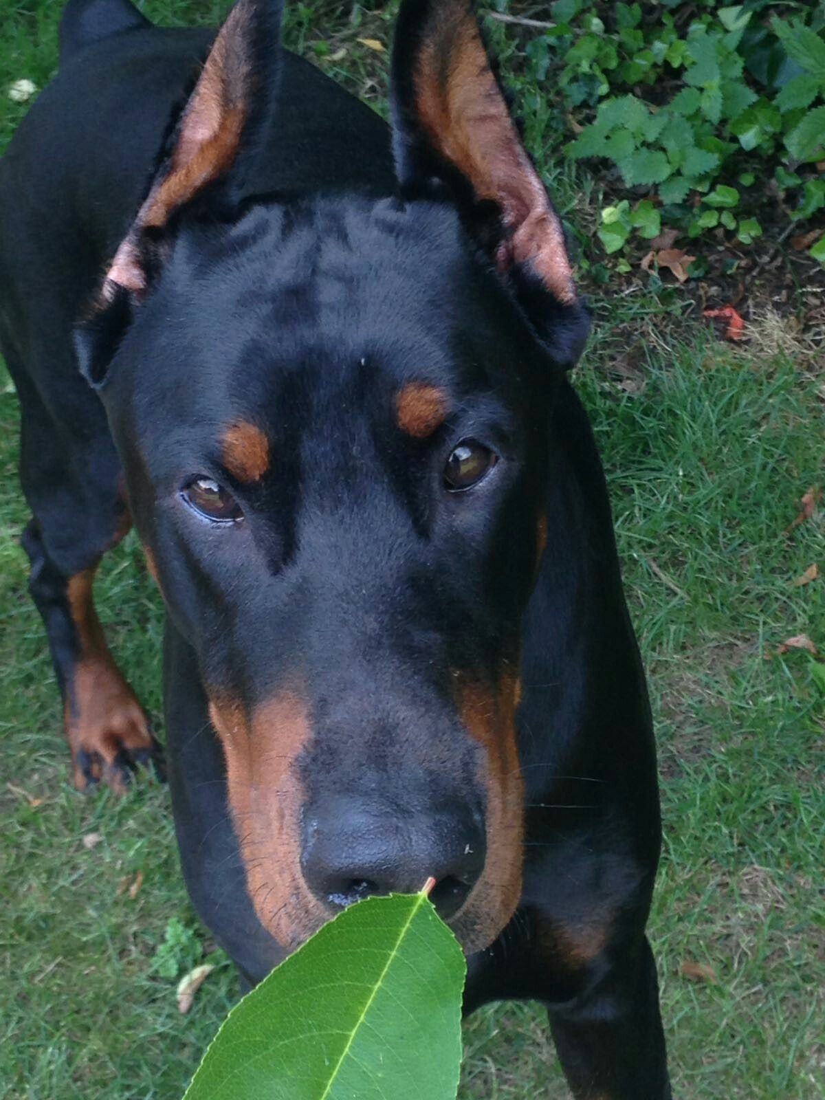 I Mean What I Say Don T You Know Doberman Pinscher Dog