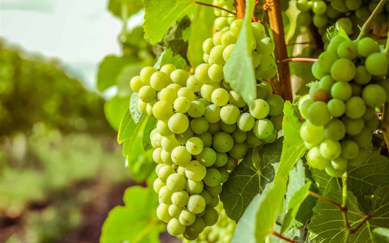 ما هو تفسير حلم العنب الأخضر في المنام لابن سيرين موسوعة Green Grapes Grapes Harvest