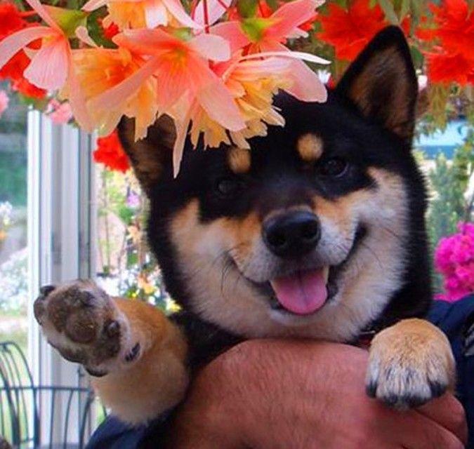 Resultado de imagen para 犬 Shibas  花