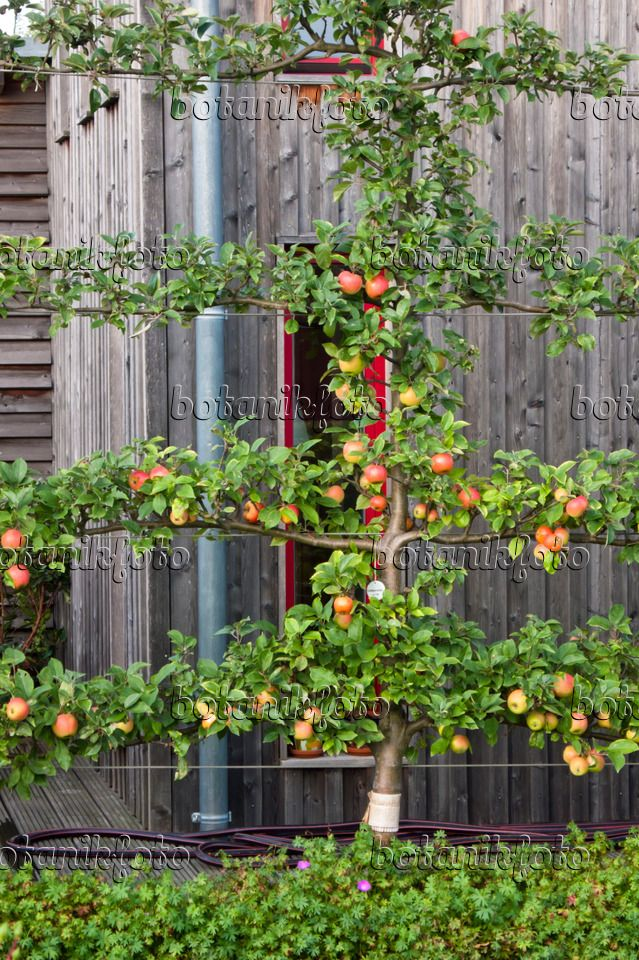 image-photo-orchard-apple-malus-domestica-goldparmaene-464046.jpg ...