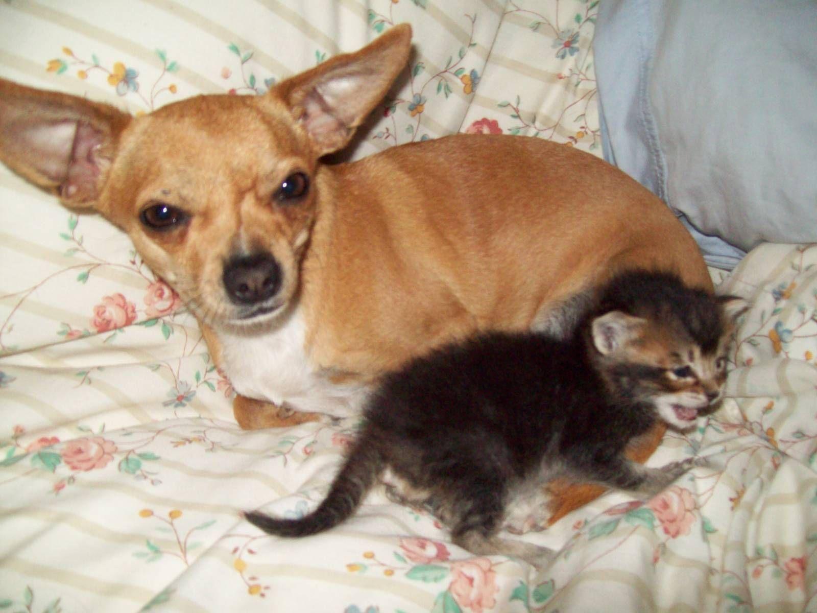 Chihuahua And Kitten Chihuahuas 13516911 1600 1200 Jpg 1600 1200