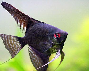 404 Not Found Aquarium Fish Tropical Freshwater Fish Freshwater Aquarium Fish