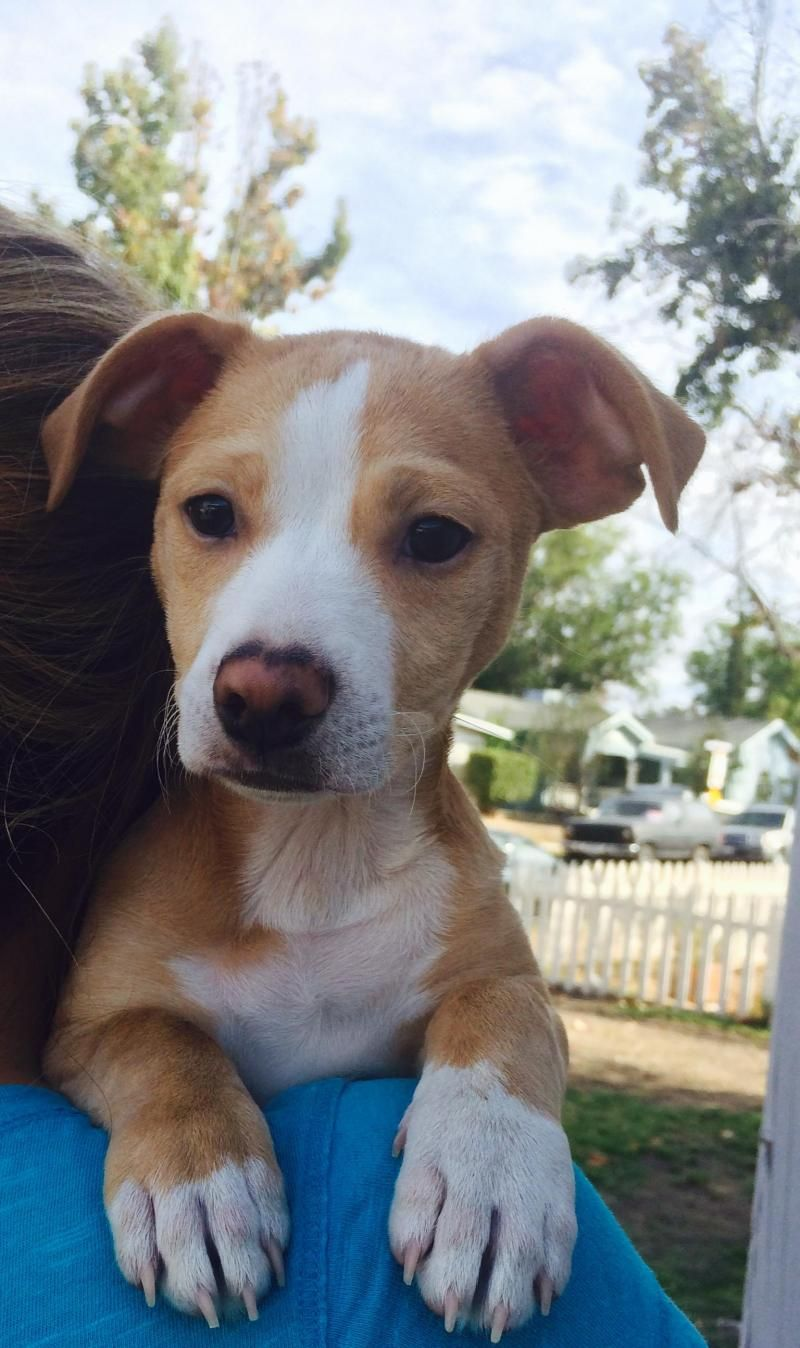 Adopt Emmie on Pitbull terrier