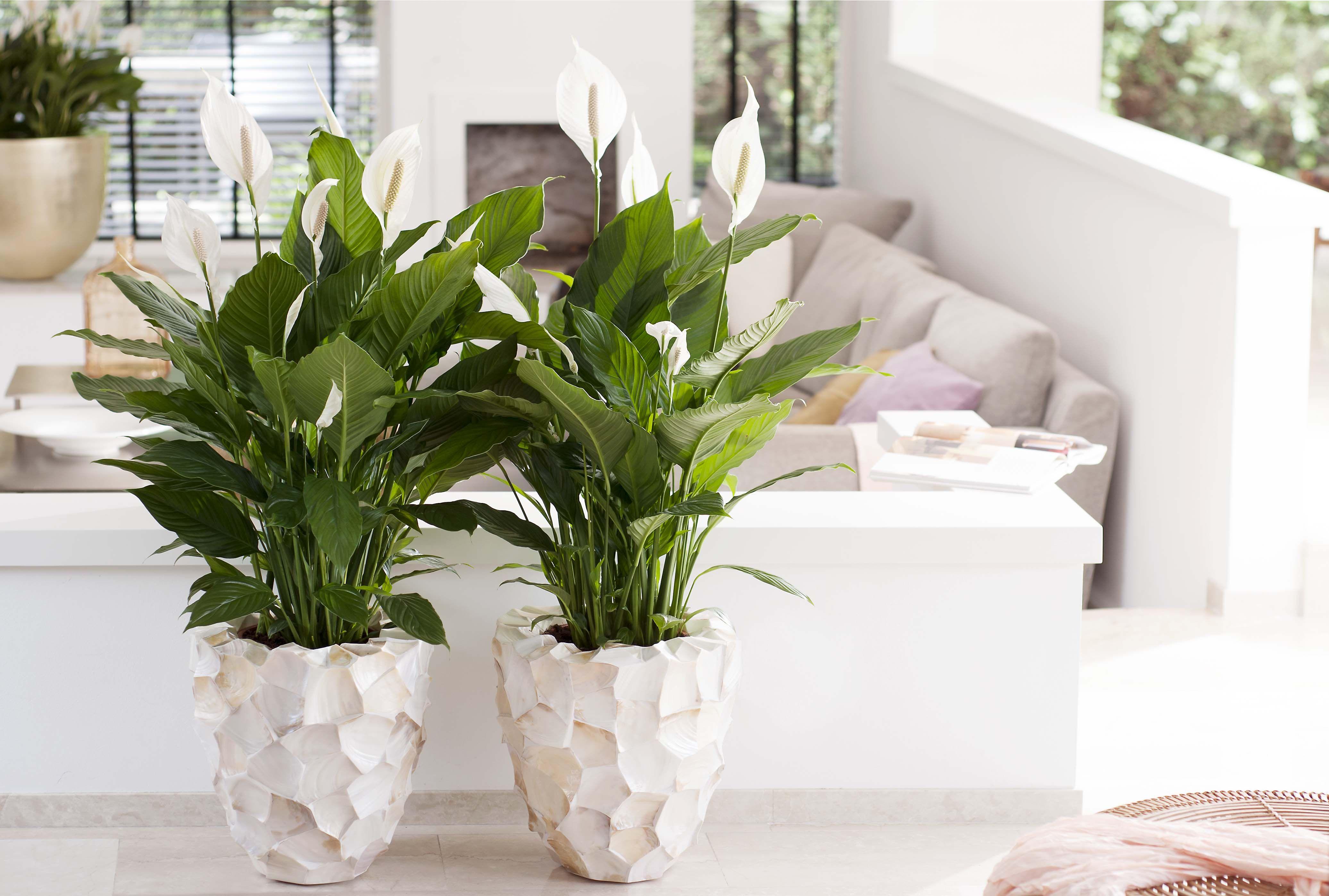 Einblatt Ist Zimmerpflanze Des Monats Juni Einblatt Zimmerpflanzen Pflanzen Fur Dunkle Raume