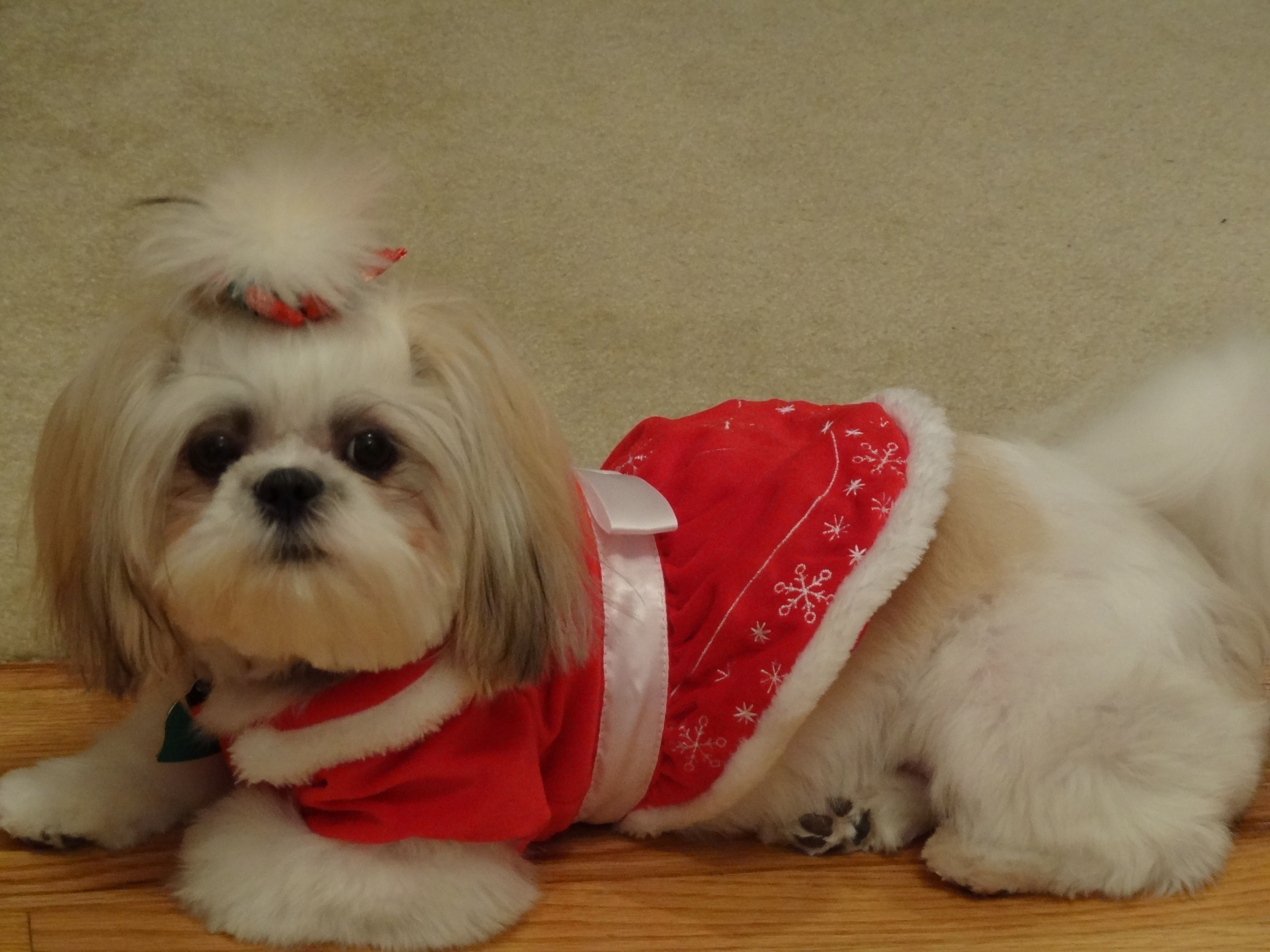 Our Shih Tzu In Her Christmas Outfit Shih Tzu Dog Shih Tzu