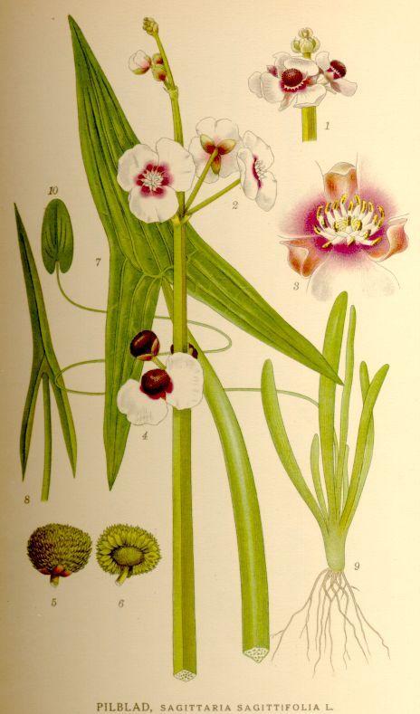Katniss Sagittaria Botanical Illustration Plants Nothing But
