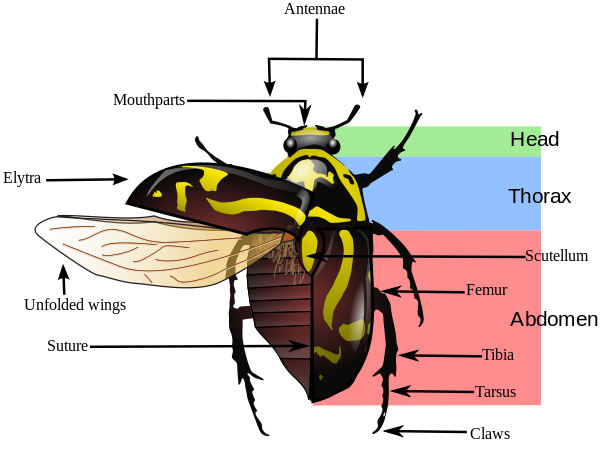 fiddler beetle morphology diagram insect insects insects insect anatomy beetle. Black Bedroom Furniture Sets. Home Design Ideas