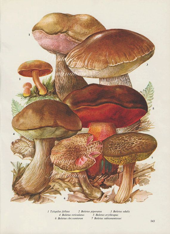 Vintage Antique MUSHROOMS illustration, book page, book ... Holly Flower Drawing