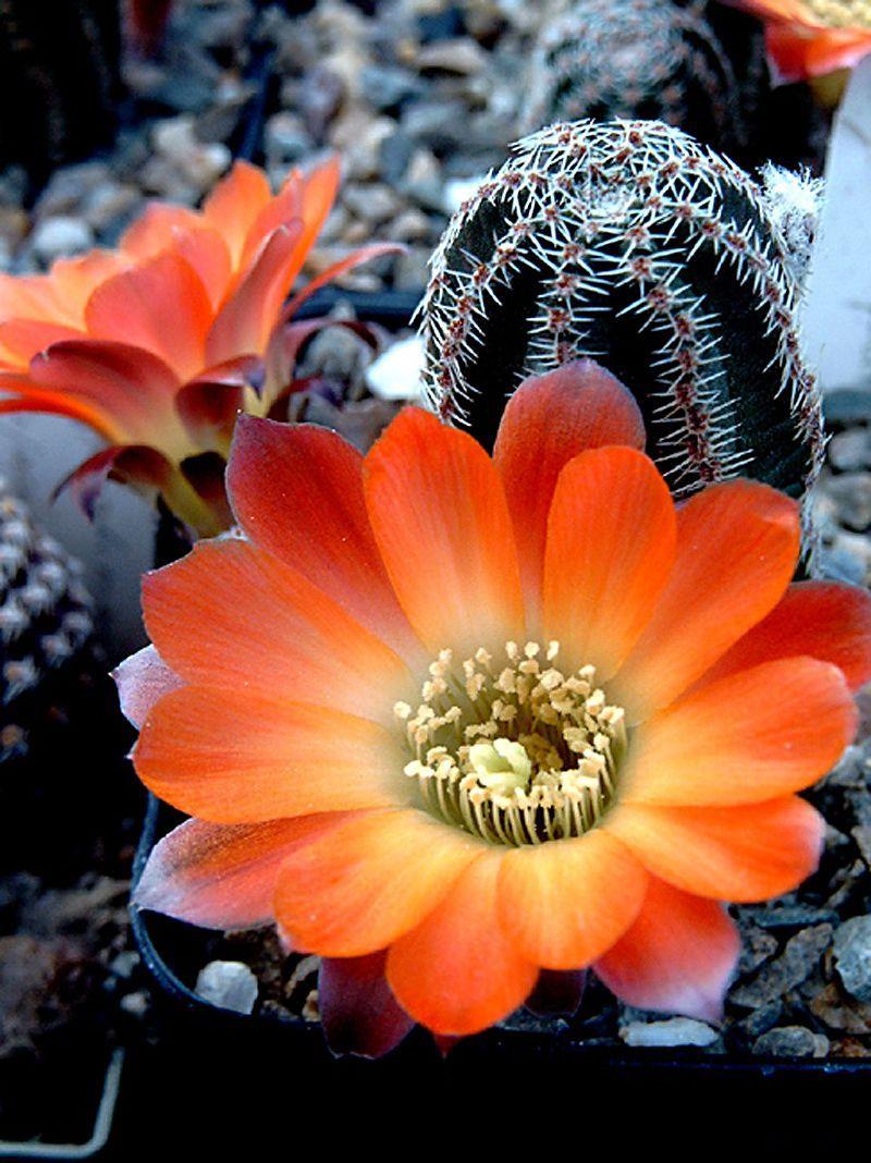 Piltz Kakteen immagine di http galerie kakteen piltz de img mediolobivia