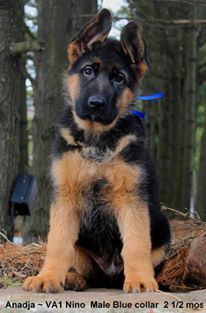 Mittelwest Is A German Shepherd Breeder Of Pure Bred German
