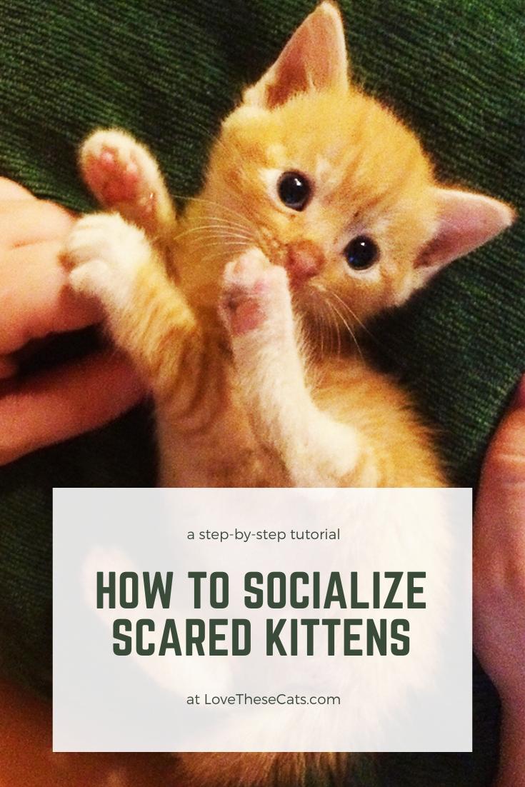 Get A Nervous Kitten To Love You In 2020 Feral Kittens Orange Kittens Kitten Cuddle