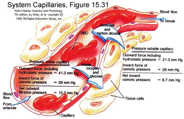 Detailed explanation of how capillaries function. | Systemic ...