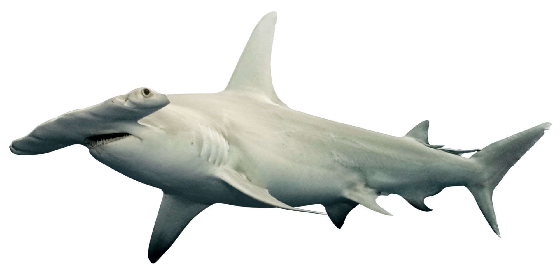 Pin By Joanne Rigutto On Shark Reference