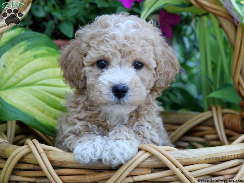 Dawson Bich Poo Puppy For Sale From Palmyra Pa Cute Dogs And Puppies Cute Dog Mixes Cute Baby Animals