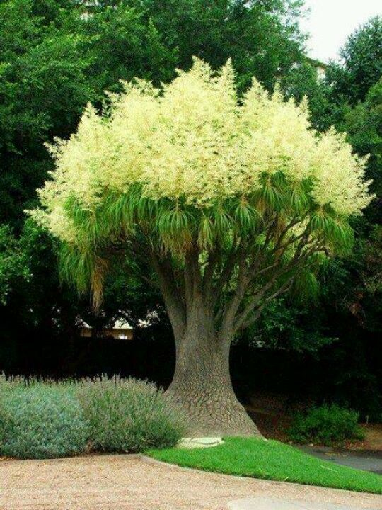 Ponytail Palm