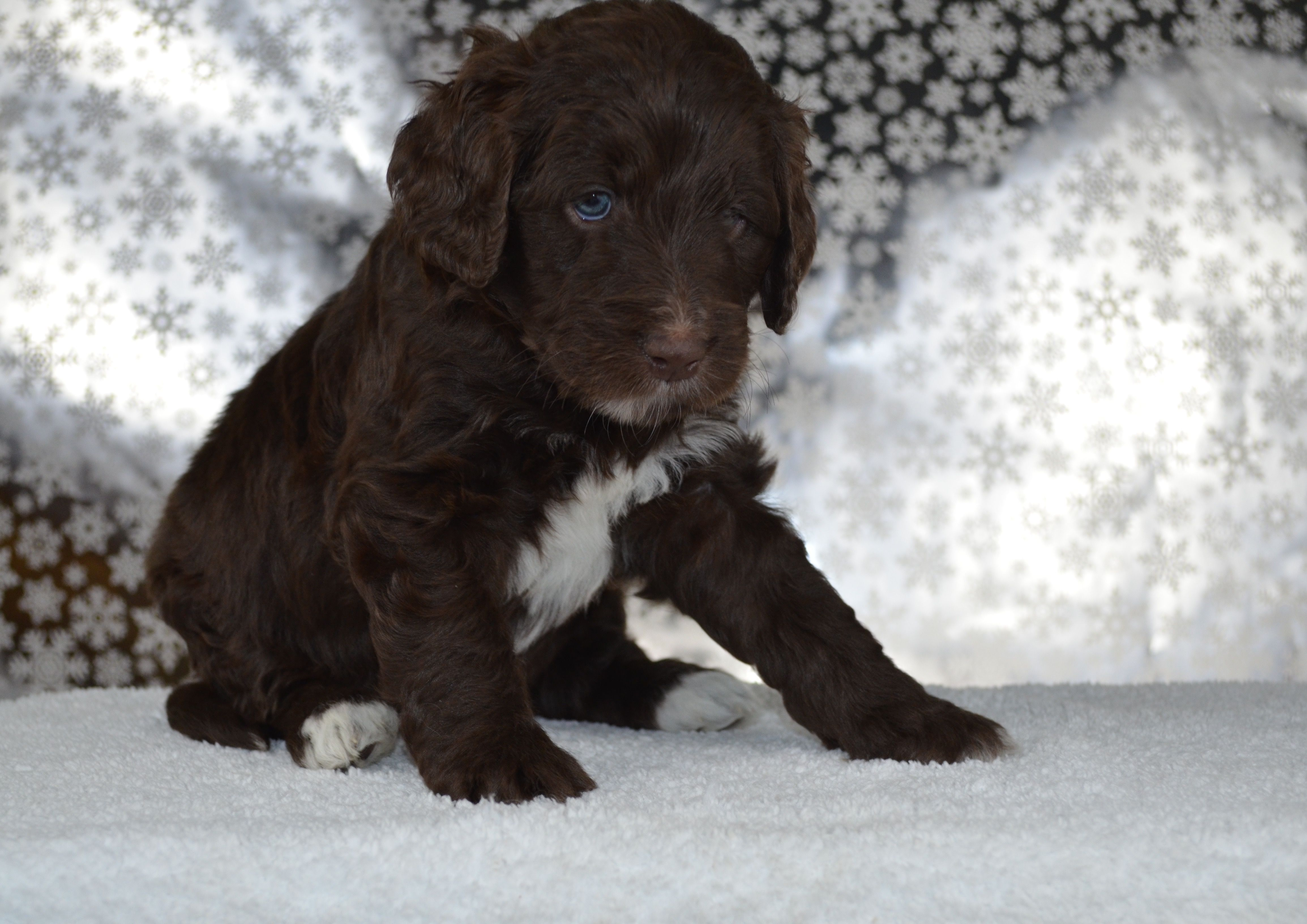 Chocolate Mini Goldendoodle by Beck Kennel Goldendoodle