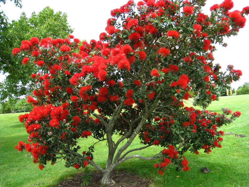 Myrtaceae Metrosideros Excelsa New Zealand Christmas Tree